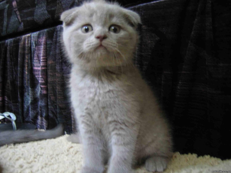 Кошка показатель благополучия человека  Питомник кошек